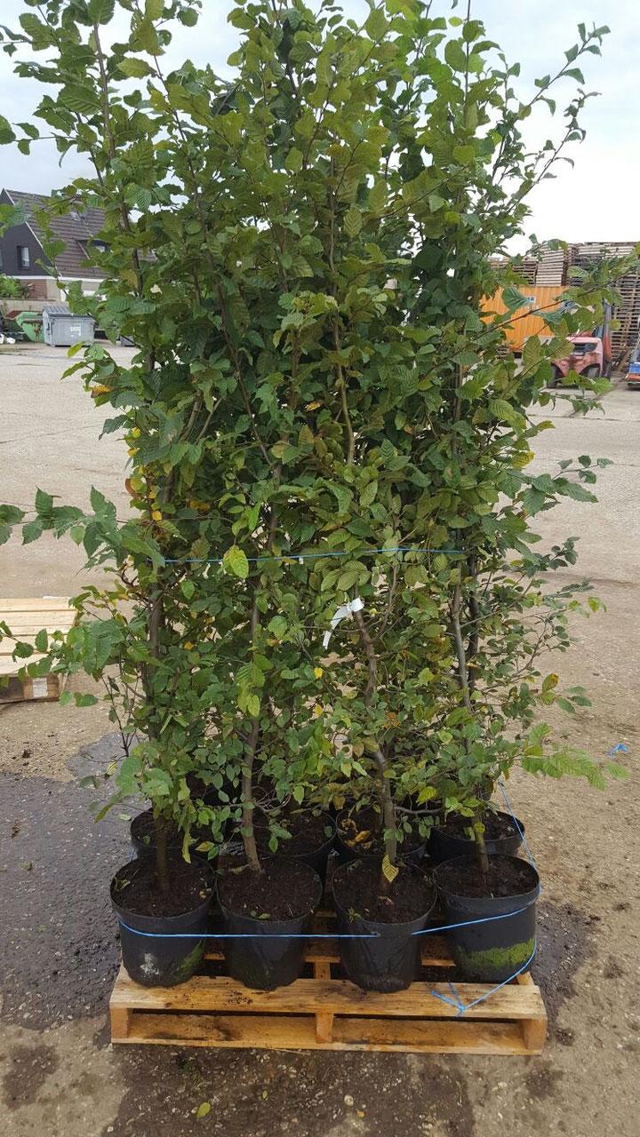 hainbuche carpinus betulus online kaufen heckenpflanzen thelen. Black Bedroom Furniture Sets. Home Design Ideas