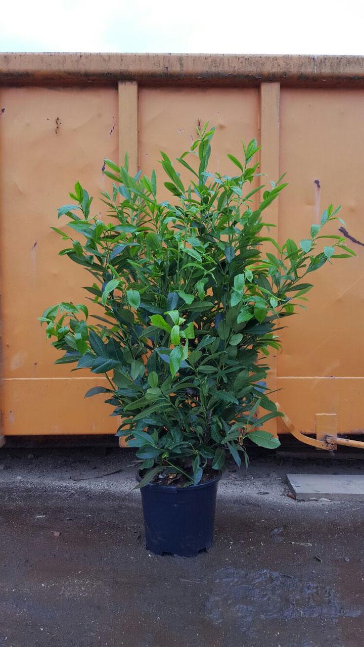 kirschlorbeer prunus laurocerasus greenpeace heckenpflanzen thelen. Black Bedroom Furniture Sets. Home Design Ideas