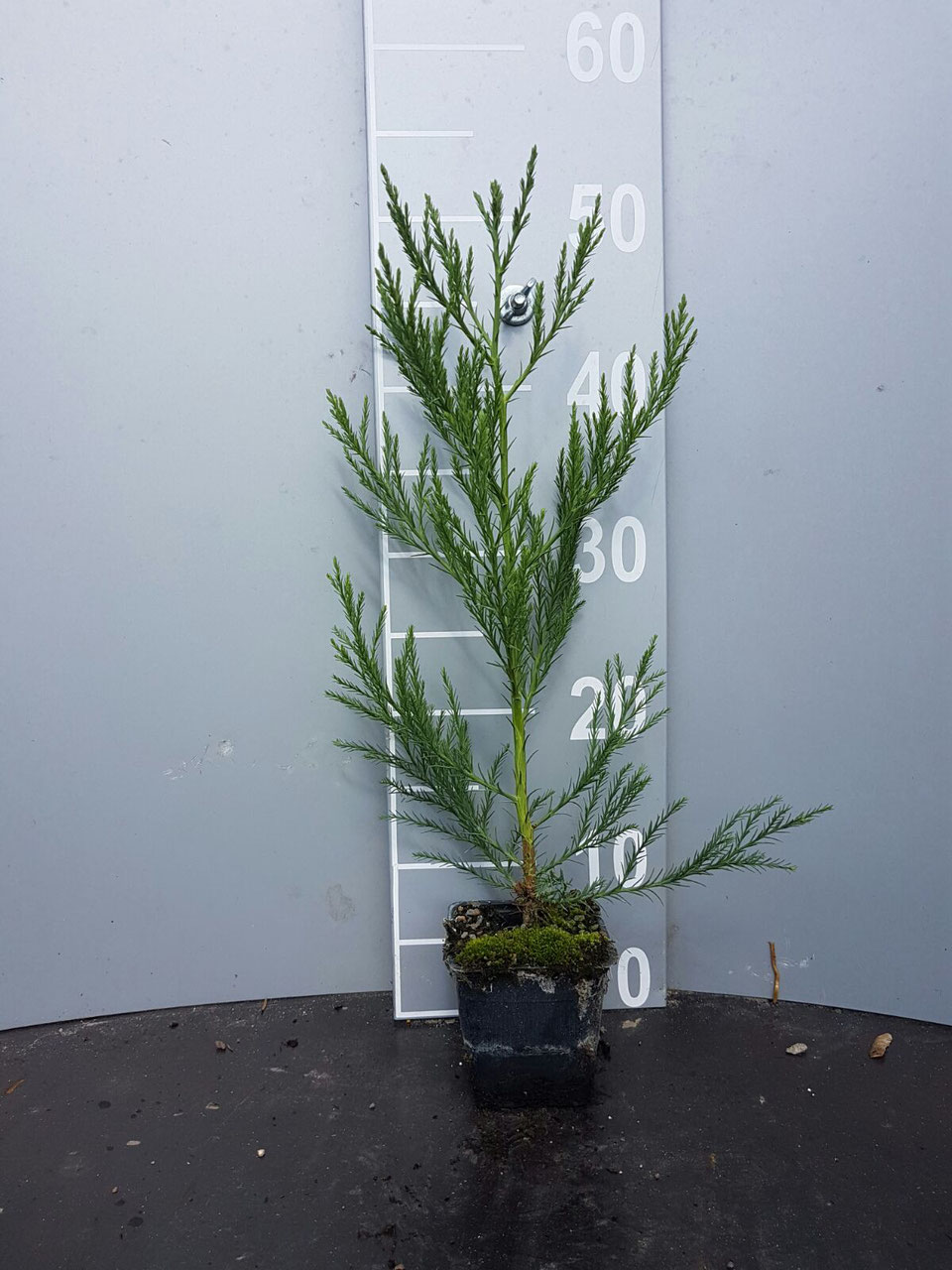 bergmammutbaum seqoiadendron giganteum online kaufen auf. Black Bedroom Furniture Sets. Home Design Ideas