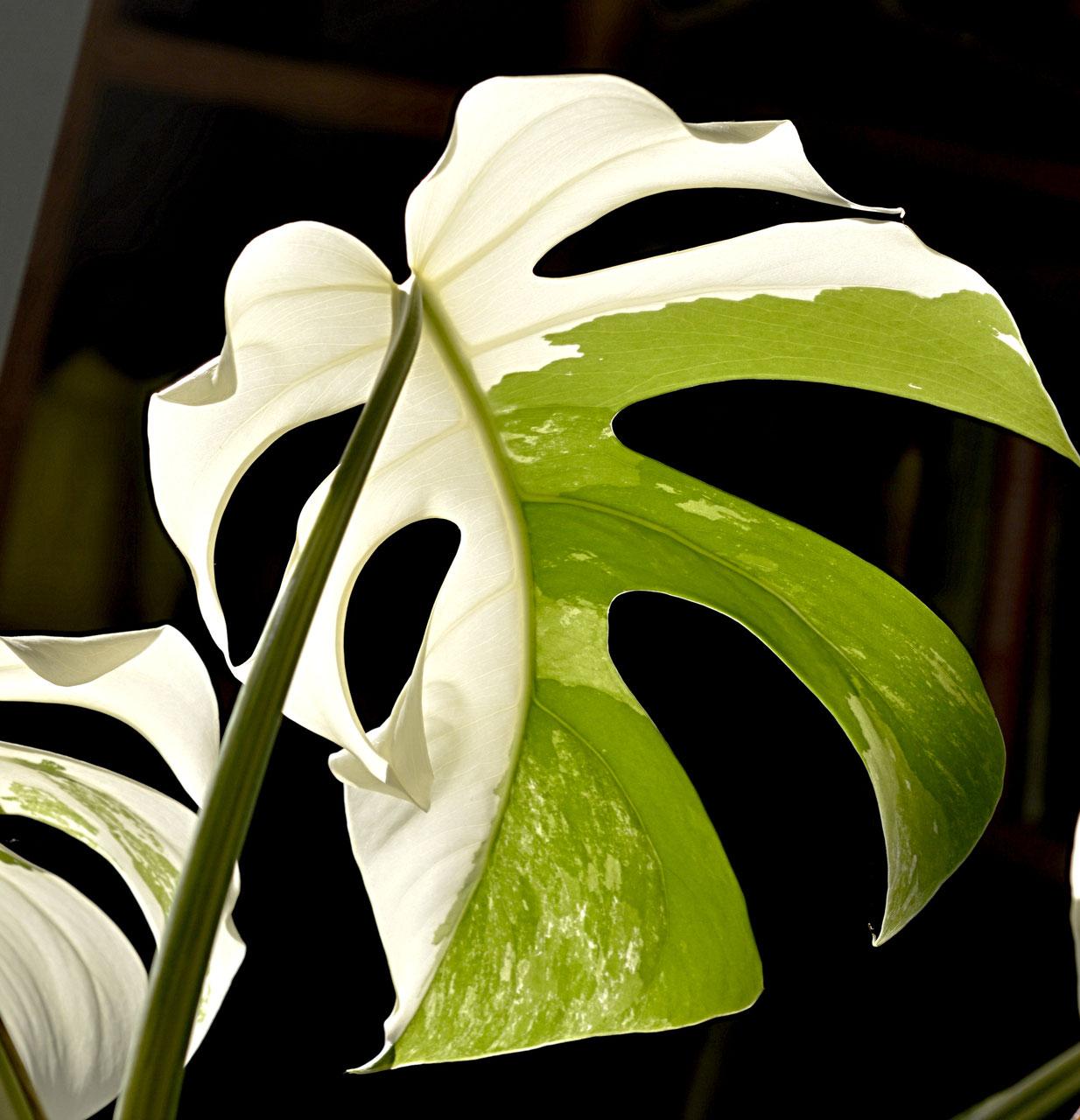 Pflanzen rarit ten rare seed and plant shop seltene - Zimmerpflanze sonnig ...