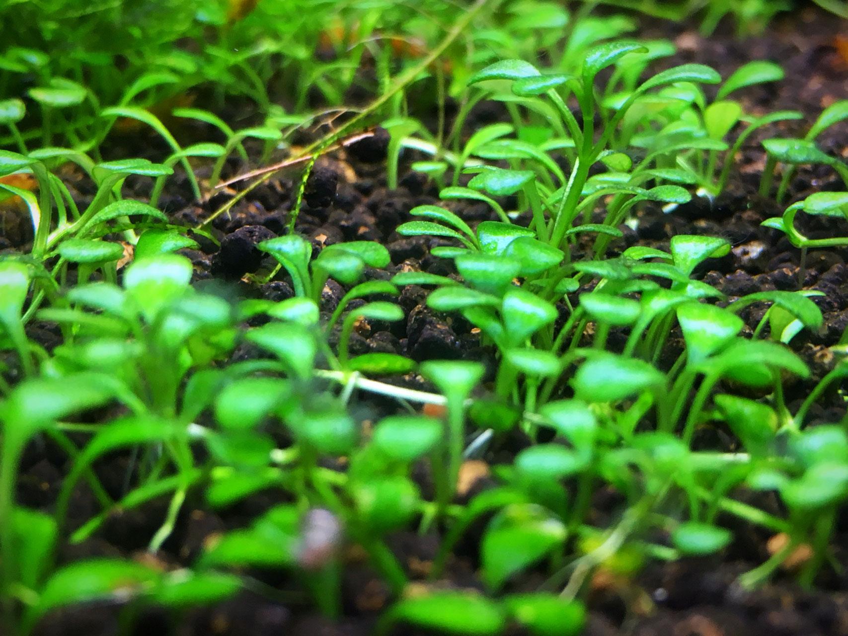 Perlkraut Bodendecker Garnelen Pott De Der Wirbellosen