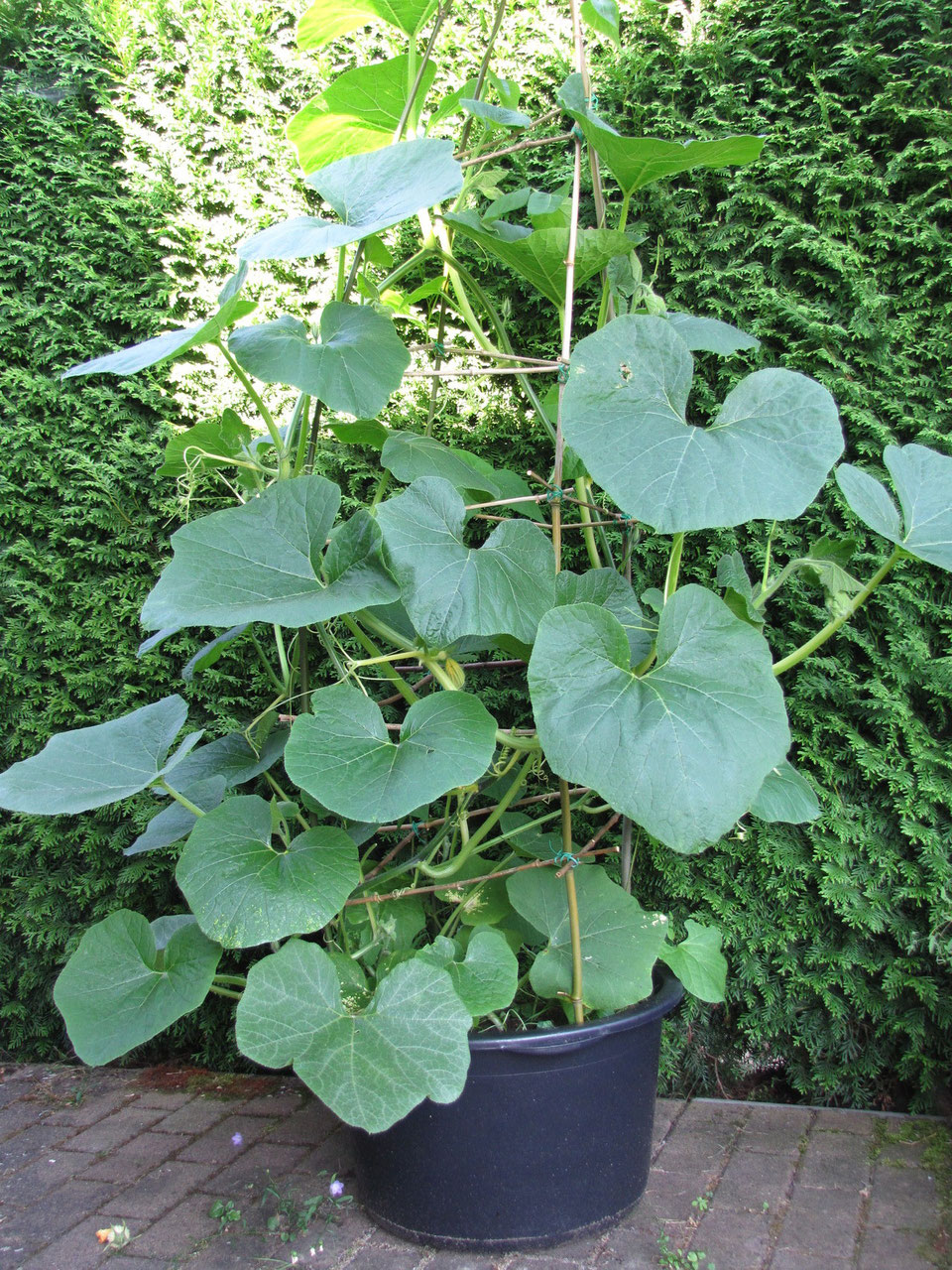 Kürbis-Pflanze an einem Rankgitter