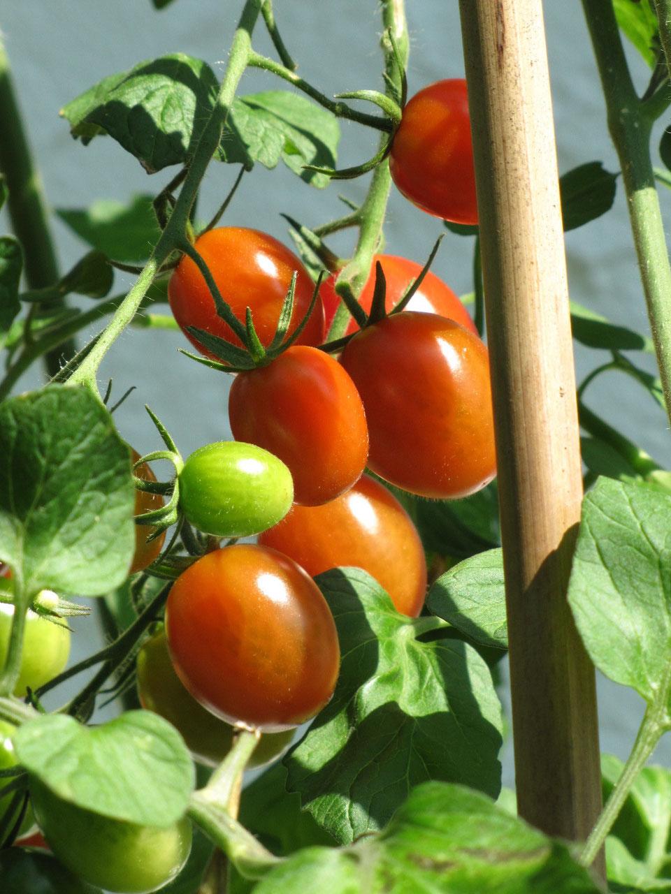 Tomate 'Rotes Taubenherz'