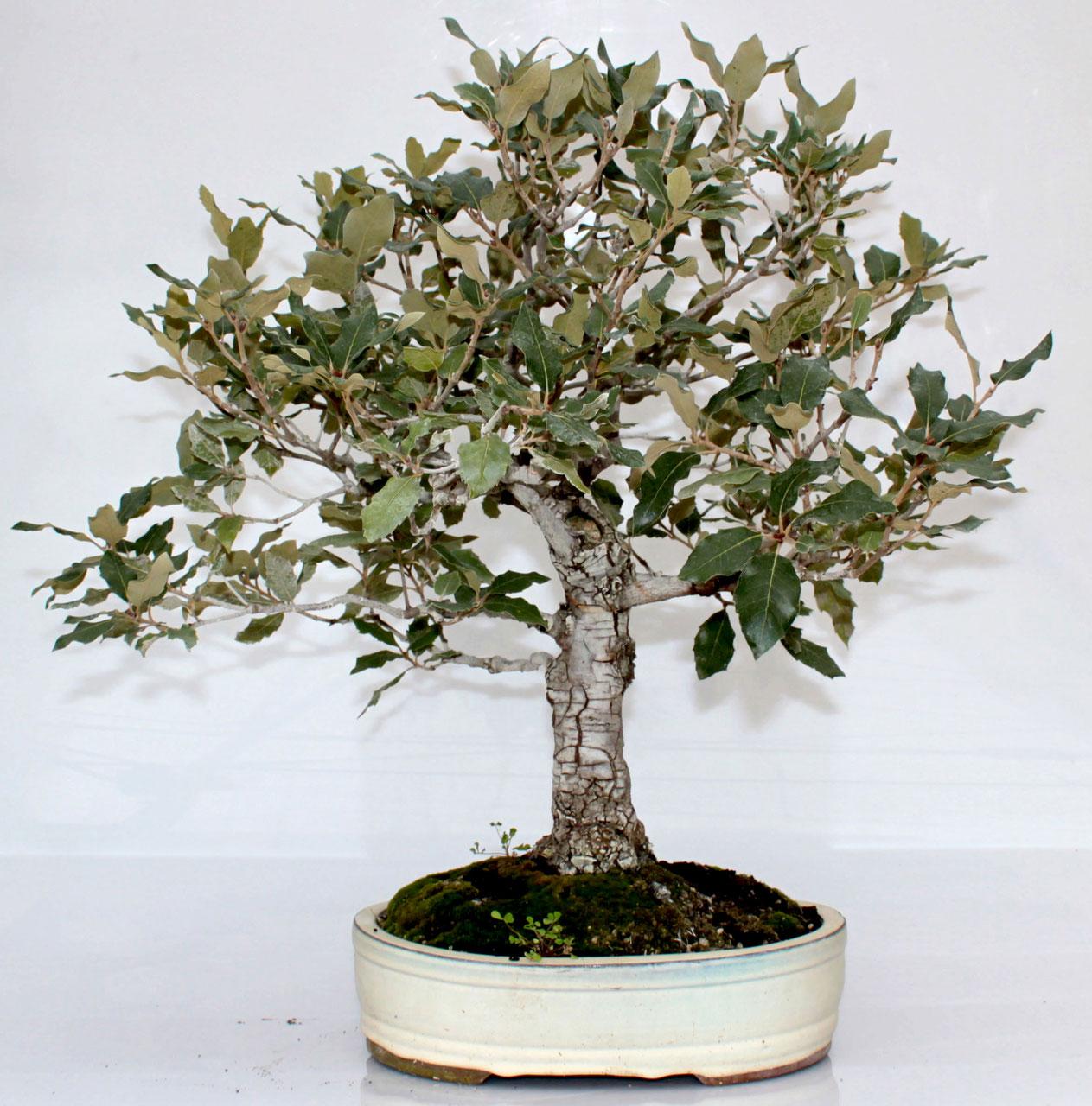 Leccio bonsai prebonsai economico bomboniere mondolfo for Quercia sempreverde