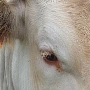 vache Blonde d'Aquitaine viande de boeuf de qualité et tendreté