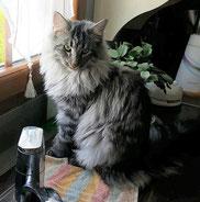 Chat des Forêts Norvégiennes - black silver mackerel tabby - chatterie des Glières