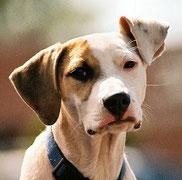Collier à pointes chien