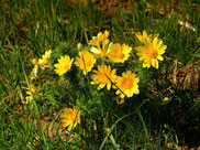 Besuchermagnet im Frühling sind hier die Adonisröschen