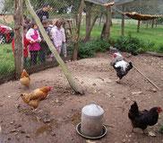 Je donne des graines aux poules et les épluchures de légumes
