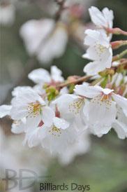 アダム社の敷地内の桜、見事でした