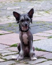 продам щенка китайской хохлатой черно-белую голую девочку