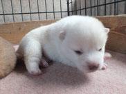白柴子犬オスの画像
