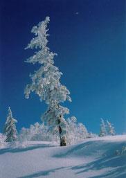 樹氷 (半切)