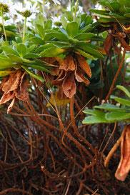 ハマギクの茎は木質化します