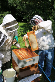 La récolte de miel