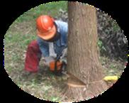 こぴすくらぶ伐採作業