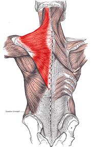 首を太くする筋肉