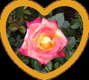 Rose in Herz