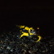 Salamandre en Sologne ©Alexandre Roubalay photo nature - Acadiau d'images