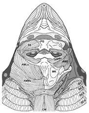 Aetobatus narinari -     cranial anatomy