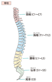 脊柱と骨盤の画像