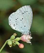 Faulbaumbläuling, Celastrina argiolus, Natura 2000, Hergenrath, Kelmis, Göhl, Geul, Gueule,Völkersberg, Belgien