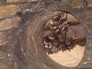 Teichfledermaus, Myotis dasycneme, Natura 2000, Hergenrath, Kelmis, Göhl, Geul, Gueule,Völkersberg, Belgien