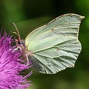 Gonepteryx rhamni, Zitronenfalter, Natura 2000, Hergenrath, Kelmis, Göhl, Geul, Gueule,Völkersberg, Belgien