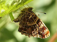 Landkärtchen, Araschnia levana, Natura 2000, Hergenrath, Kelmis, Göhl, Geul, Gueule,Völkersberg, Belgien