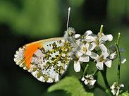 Aurorafalter, Anthocharis cardamines, Natura 2000, Hergenrath, Kelmis, Göhl, Geul, Gueule,Völkersberg, Belgien
