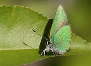 Brombeerzipfelfalter, Callophyrus rubi, Natura 2000, Hergenrath, Kelmis, Göhl, Geul, Gueule,Völkersberg, Belgien
