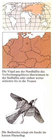 BiHU Vogelführer Bachstelze Natur