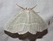 Perlglanzspanner, Campaea margaritata,  Natura 2000, Hergenrath, Kelmis, Göhl, Geul, Gueule,Völkersberg, Belgien