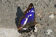 Großer Schillerfalter, Apartura iris, Natura 2000, Hergenrath, Kelmis, Göhl, Geul, Gueule,Völkersberg, Belgien