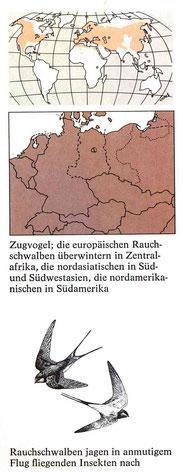 BiHU Vogelführer Rauchschwalbe Natur