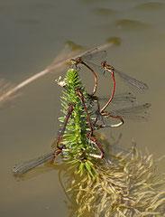 Frühe Adonisjungfer, Pyrrhosoma nymphula, Natura 2000, Hergenrath, Kelmis, Göhl, Geul, Gueule,Völkersberg, Belgien