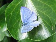 Faulbaumbkläuling,Celastrina argiolus, Natura 2000, Hergenrath, Kelmis, Göhl, Geul, Gueule,Völkersberg, Belgien