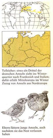 BiHU Vogelführer Amsel Natur