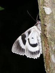 Blaues Ordensband, Catocala fraxini, Natura 2000, Hergenrath, Kelmis, Göhl, Geul, Gueule,Völkersberg, Belgien