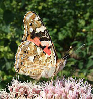 Distelfalter, VAnessa cardui, Natura 2000, Hergenrath, Kelmis, Göhl, Geul, Gueule,Völkersberg, Belgien