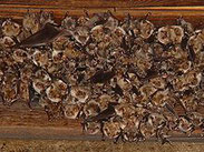 Großes Mausohr, Myotis myotis, Natura 2000, Hergenrath, Kelmis, Göhl, Geul, Gueule,Völkersberg, Belgien