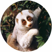 don't supper the slow loris pet trade