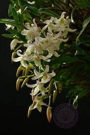 Dendrobium Honoré