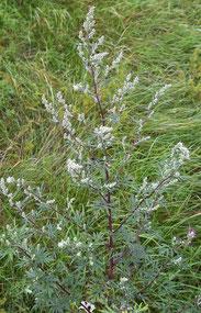 Beifuß (Artemisia vulgaris) Foto Christian Fischer
