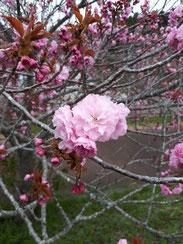 戸沢池の桜一輪,鈴木孝一さん,桜フォトコンテスト,2020,浅草粋や賞