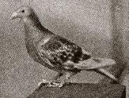 Roodkras duif van Piet de Bruin uit Roosendaal, won de eerste in 1906 vanaf Bilbao