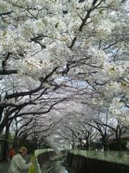 まさに桜のトンネルです