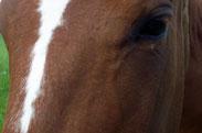 cavaltitude accueil mediation equine