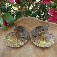 Fossiles d'ammonite site d'alani rivera