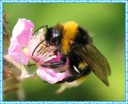 Пчёлка собирающая нектар